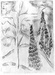 Furu og grantrær